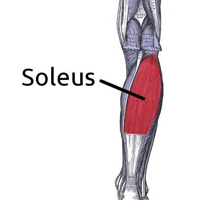 Soleus Muscle And Its Role The Palpation Clinic